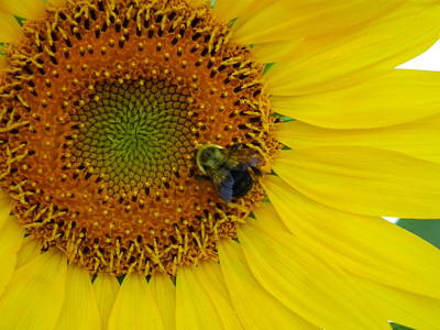 Photograph - Busy Bee by Linda Koester