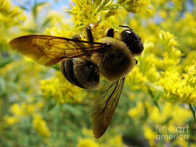 Photograph - Busy Bee by Mark Holbrook