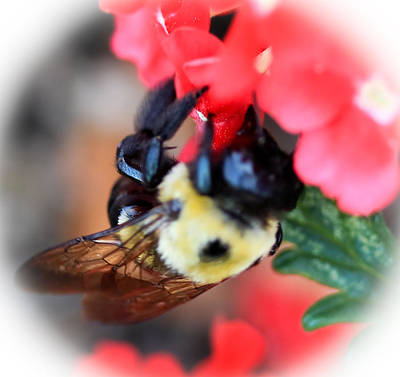 Photograph - Busy Bee by Maureen  McDonald