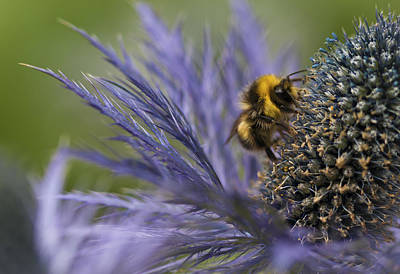 Photograph - Busy Bee On A Thistle by Zoe Ferrie