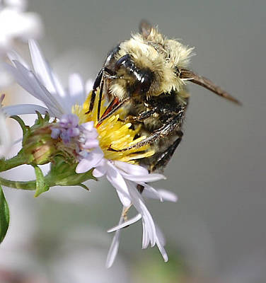 Photograph - Busy Bee On Aster by Mary McAvoy