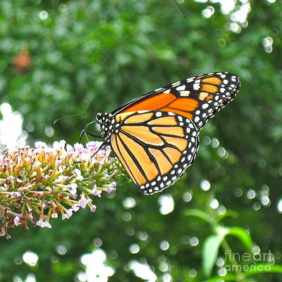 Photograph - Busy Butterfly  by Nancy Patterson