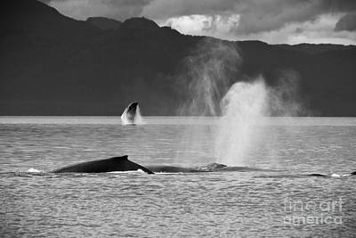 Busy Humpback Whale Pods Art Print by Darcy Michaelchuk