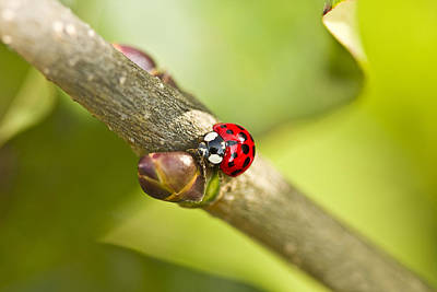 Photograph - Busy Ladybug by Trudy Wilkerson