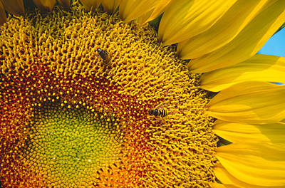 Photograph - Busy Sunflower by Bernard Lynch