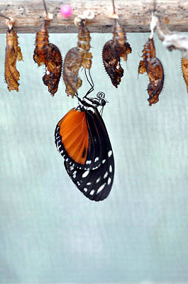 Photograph - Buterfly Hatching 1 by Allan Rothman