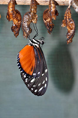 Photograph - Buterfly Hatching 3 by Allan Rothman