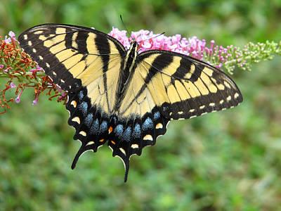 Blue Swallowtail Digital Art - Butterflies Are Free by Eva Kaufman