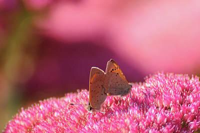 Butterflies Mating Art Print by Darren Moston
