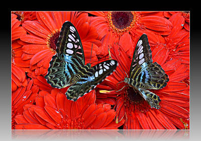 Butterflies On Red Flowers Art Print