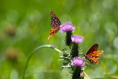 Photograph - Butterflies On Thistles by Diana Haronis