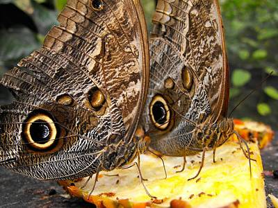 Photograph - Butterflies The Morphos Over A Slice by William OBrien
