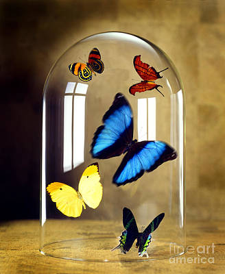 Butterflies Under Glass Dome Print by Tony Cordoza