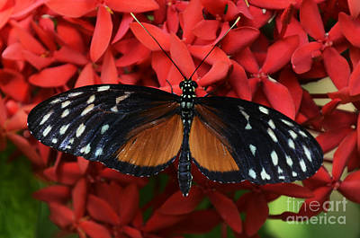 Red And Black Butterfly Photograph - Butterfly 1 by Bob Christopher