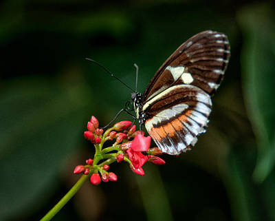 Photograph - Butterfly 1 by Fred LeBlanc