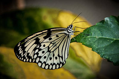 Photograph - Butterfly 2 by Fred LeBlanc