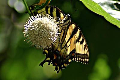 Photograph - Butterfly 2 by Joe Faherty