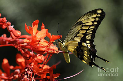 Red And Black Butterfly Photograph - Butterfly 3 by Bob Christopher
