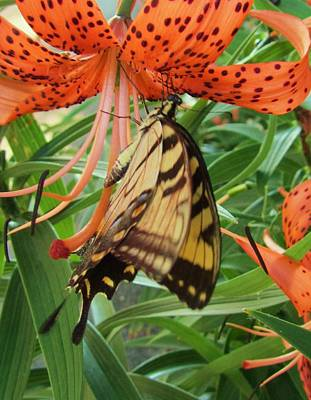 Photograph - Butterfly-3 by Todd Sherlock