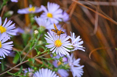 Butterfly And Aster Art Print