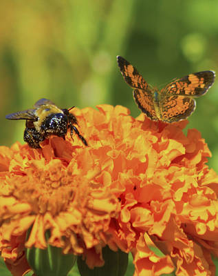 Photograph - Butterfly And Bee by Shelley Bain