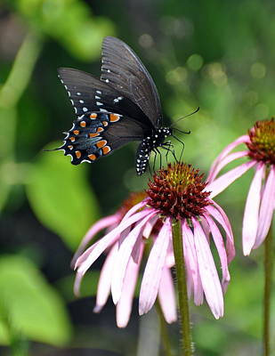 Photograph - Butterfly And Coine Flower by Marty Koch