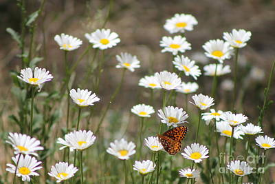 Photograph - Butterfly And Daisy's 2 by Pamela Walrath