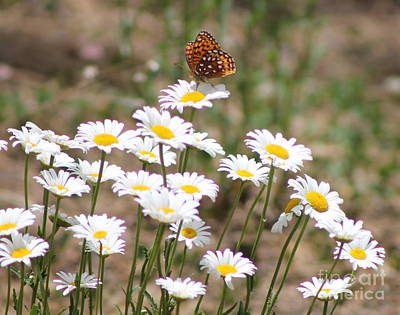 Photograph - Butterfly And Daisys 3 by Pamela Walrath