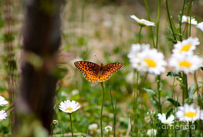 Photograph - Butterfly And Daisy's by Pamela Walrath