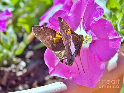 Photograph - Butterfly And Petunia by Judy Via-Wolff