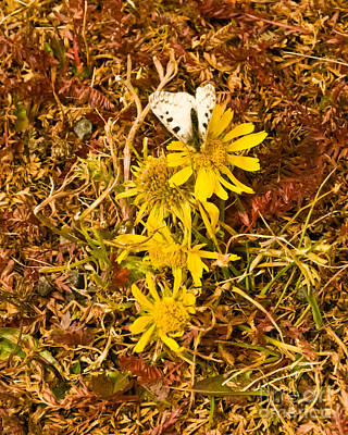Photograph - Butterfly And Sunflower On Delicate Tundra by Harry Strharsky