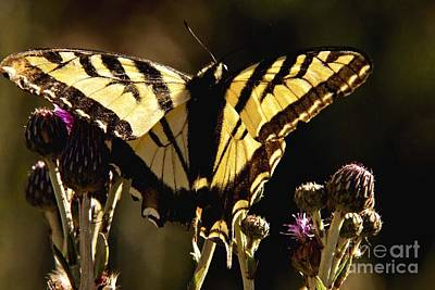 Art Print featuring the photograph Butterfly And Thistle II by Angelique Olin