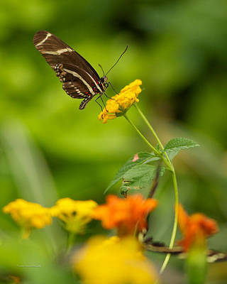 Butterfly Photograph - Butterfly Arc by Constance Sanders
