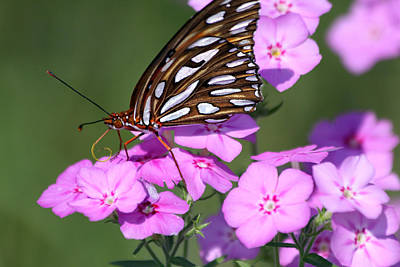 Photograph - Butterfly At Merritt Island Refuge by Jeanne Andrews