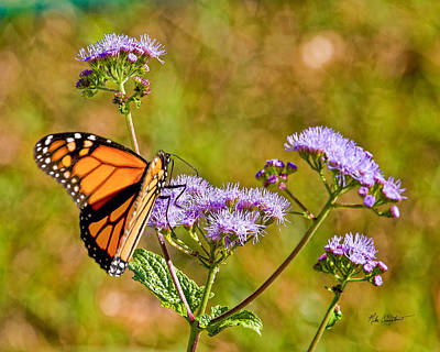 Photograph - Butterfly At Work by Mike Covington