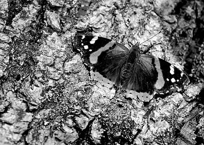Photograph - Butterfly Bark Black And White by LeeAnn McLaneGoetz McLaneGoetzStudioLLCcom