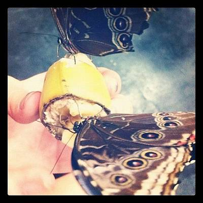 Banana Wall Art - Photograph - #butterfly #bugs #banana #feeding by Sam Sana
