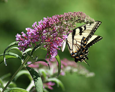 Photograph - Butterfly Bush And Butterfly Wings by Margie Avellino