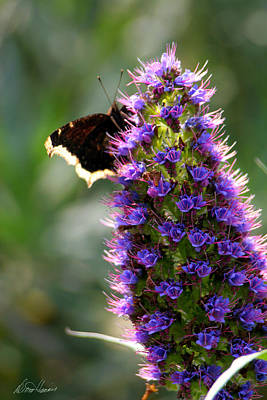 Photograph - Butterfly Bush by Diana Haronis