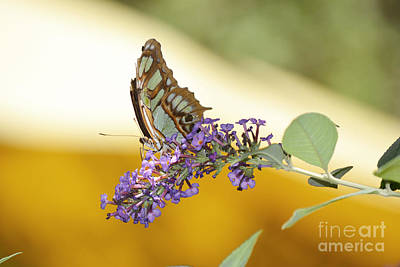 Butterfly Lavender Branch Art Print by Andrea Hazel Ihlefeld