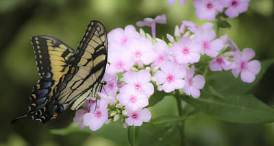 Phlox Paniculata Photograph - Butterfly Dreams by Teresa Mucha