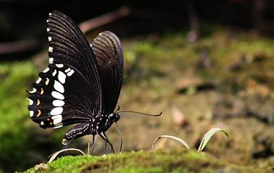 Photograph - Butterfly Feeding  by Ramabhadran Thirupattur