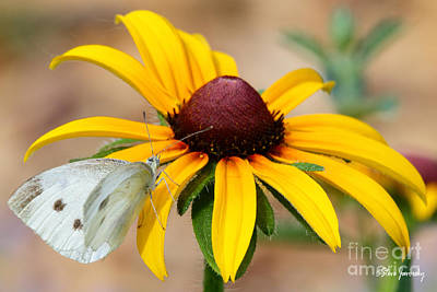 Photograph - Butterfly  Flower by Steve Javorsky