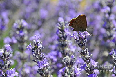 Butterfly Gathering Nectar From Lavender Flowers Art Print by Sami Sarkis