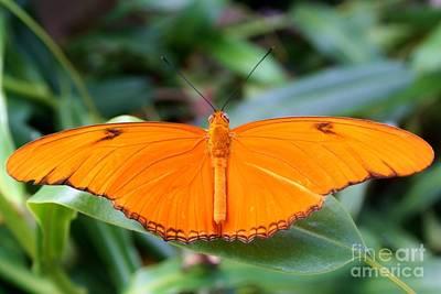 Photograph - Butterfly IIi by Ellen Heaverlo