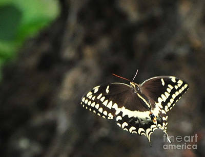 Butterfly In Flight Photograph - Butterfly In Flight by Paul Ward