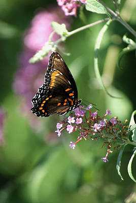 Photograph - Butterfly Jewels by Margie Avellino
