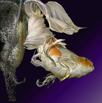 Butterfly Koi Flip Art Print by Janna Morrison
