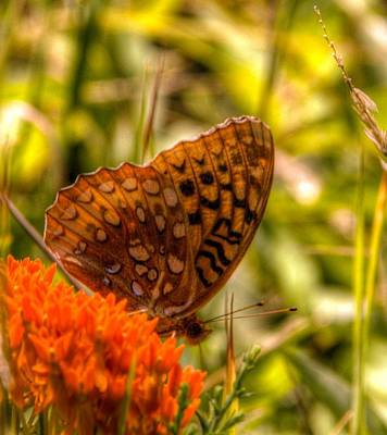 Elmira Ny Photograph - Butterfly by Laurie Cybulak