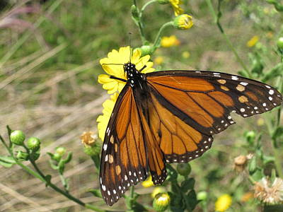 Nature Wall Art - Photograph - Butterfly by Megan Cohen